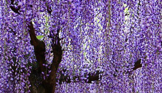 ◆薄紫色ジャケパンスタイルで藤の花を見に行こう◆